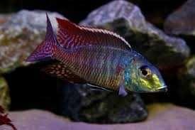 Pyszczaki Lethrinops marginatus Red fin