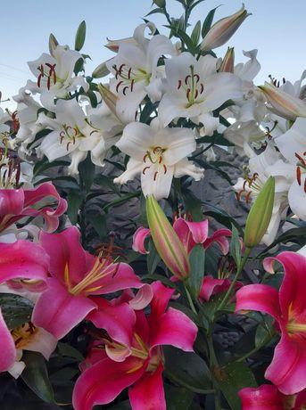 Cebulki lili mieczyków tulipanów