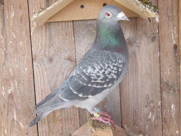 gołębie pocztowe samiec Derby