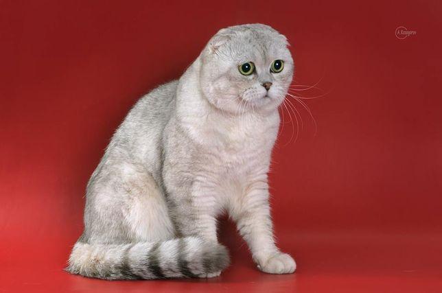 Кот Серебристая шиншилла приглашает на вязку