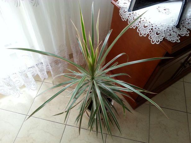 Dracena marginata tricolor roślina doniczkowa 80 cm bez doniczki