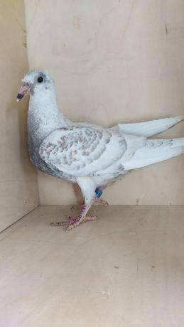 Andaluzy młode gołębie pocztowe 2021