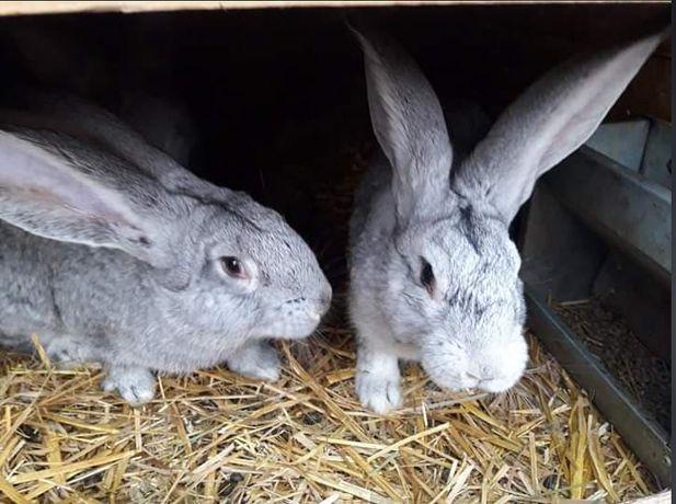 króliki belgijskie srebrne