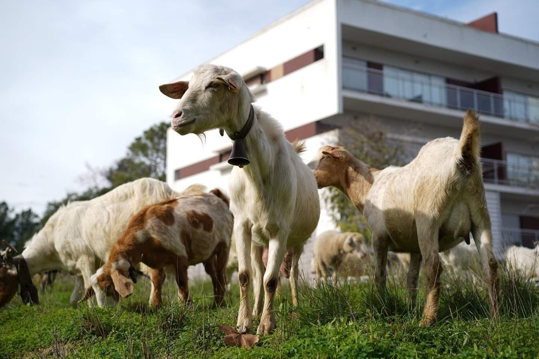 Cabras rebanho quarenta animais