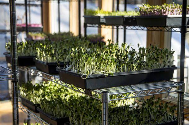 Выращивание микрозелни, клубники, цветов. Досветка растений.