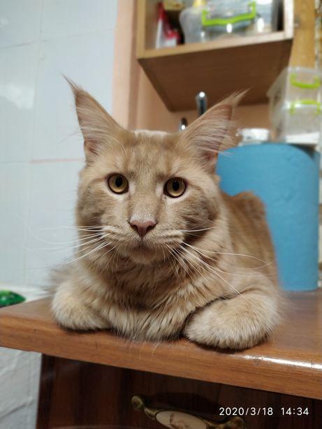 Мей Кун-Рыжий Кот, Вязка за Оплату, с Родословной и ВетПаспортом
