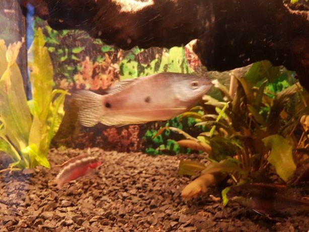 Ryba akwariowe gurami dwuplamy