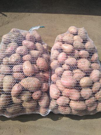 Ziemniaki Ricarda Irga lord