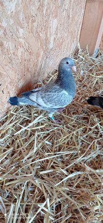 Gołębie pocztowe młode szpaki