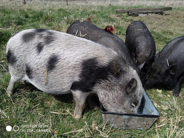 Sprzedam 4 szt. za 500 zł świnki wietnamskie  7 miesięczne