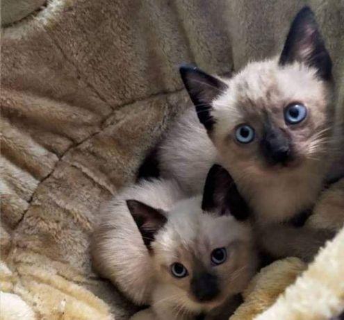 Piękne kocięta syjamskie