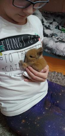 Małe króliki króliczki teddy miniaturki młode