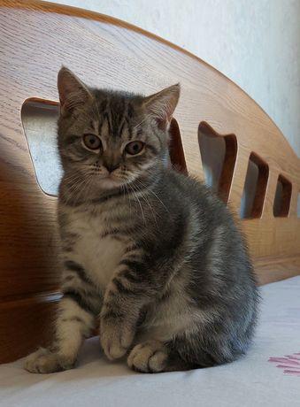 Очаровательная шотландская кошечка