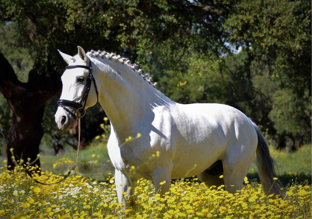 Cavalo Lusitano 14 anos