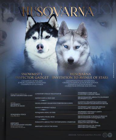 Szczenięta Siberian Husky / Mama córką Zwycięzcy Świata 2018