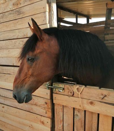 Desbaste de poldros e ensino de cavalos