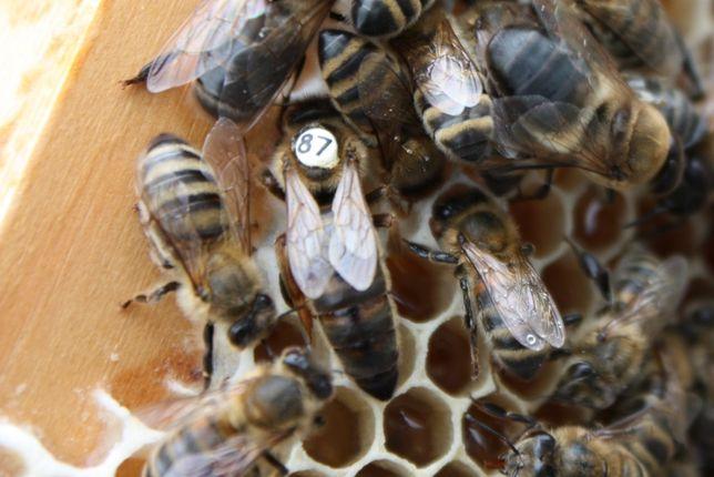 Пчеломатки Карника Пернер (Карл Пернер. Ф1.первоисточник)