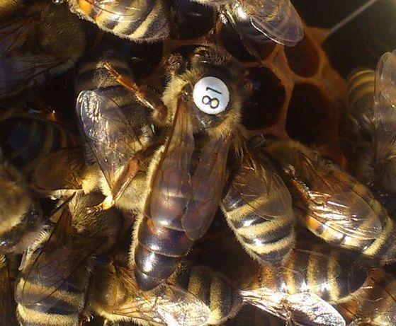 бджоломатки Карніка Скленар (F1) від Гуідо Скленар