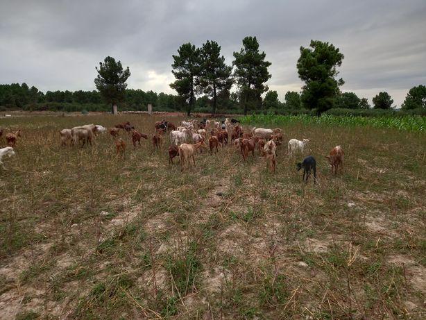 Cabras de leite cruzadas