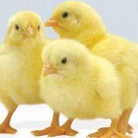Цыплёнок бройлер кобб-500 и росс-308