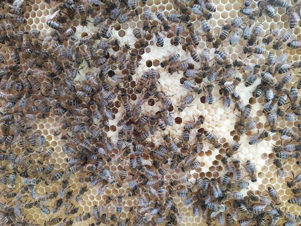 rodziny pszczele dadant