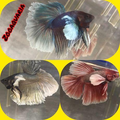 Рыбка петушок!!!Красивые импортные и оригинальные петушки!!!