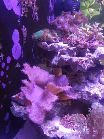Sinularia brassica akwarium morskie