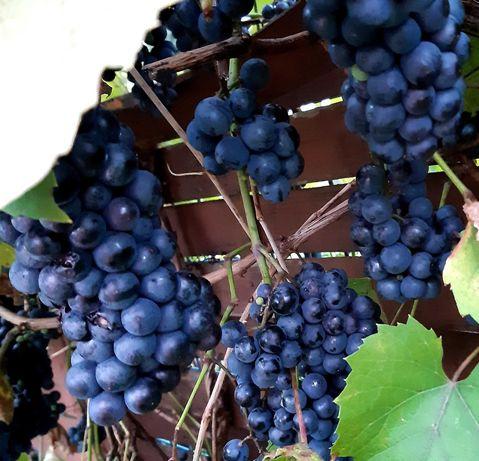 Winigrono bardzo  słodkie