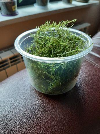 Mech Taiwan moss - Duża porcja