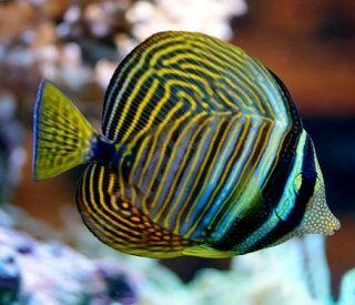 Akwarium morskie - Zebrasoma desjardinii