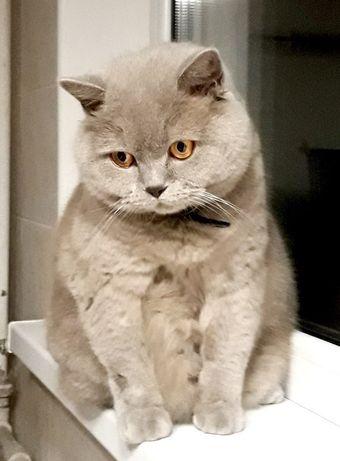 Шотландский кот Джесси