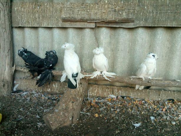 голуби бухарські