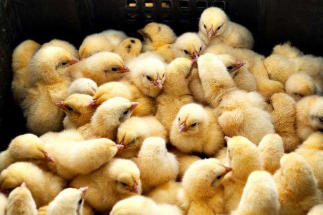 kurczaki brojlery mięsne pisklęta oraz odchowane