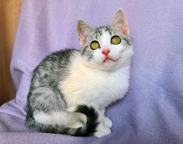 удивительная снежная красавица, кошка Мия, 3,5 месяцев, котёнок
