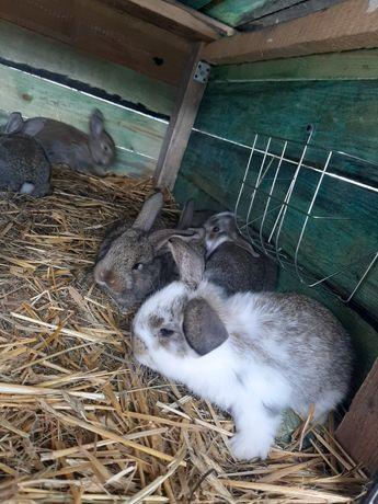 Młode króliki baran francuski