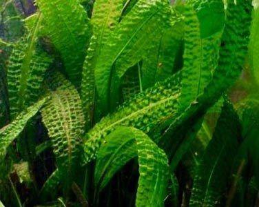 акваріумна рослина Апоногетон