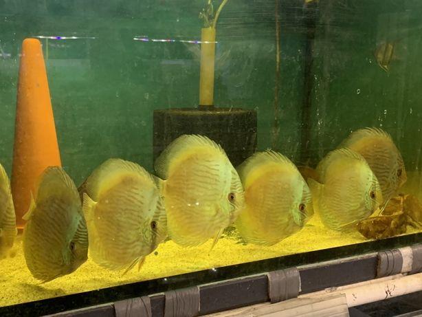Wild discus dzika paletka ryby odłow
