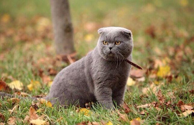 Шотландский вислоухий кот на вязку ждёт прямоушек