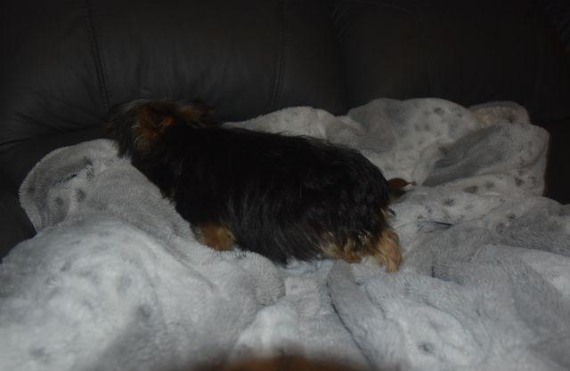 Yorkshire terrier | Piesek | XXXS | Czarno mahoniowy - Paszport