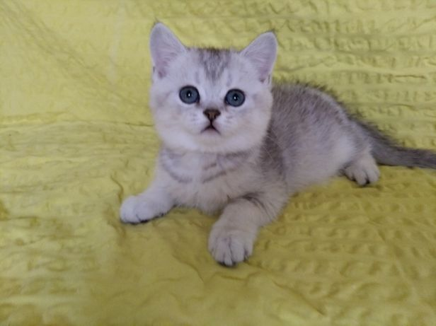 Шотландские котята 2 Мес.Питомник.