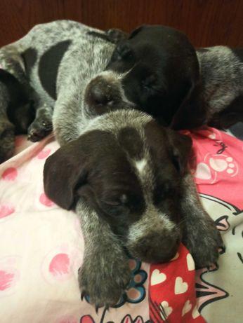 Продам замечательных щенков Курцхара