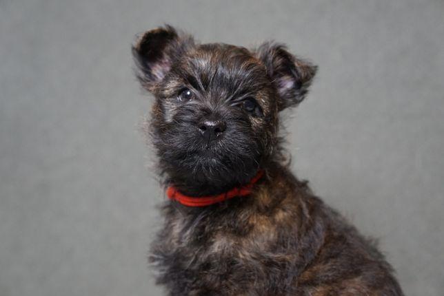 Cairn Terrier - piesek ZKwP/FCI