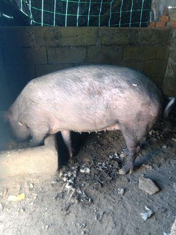 Vendo porca cruzada de Duroc com Porco Preto Alentejano