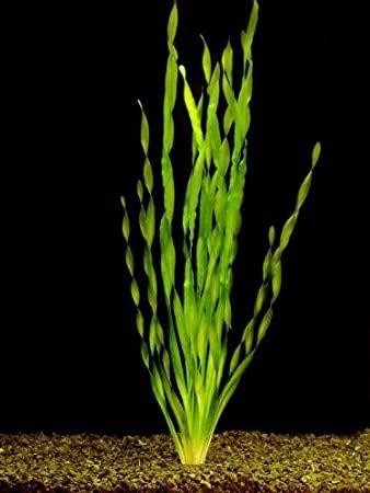 Valliseria Asiatica (sadzonka)