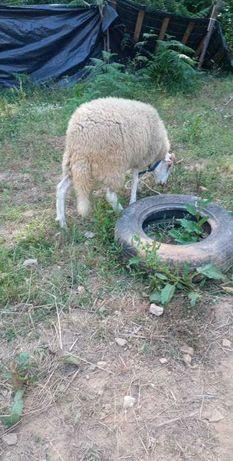 Borrega bordaleira com 9 meses e carneiro com 10 meses