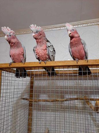 Продам розовых какаду.