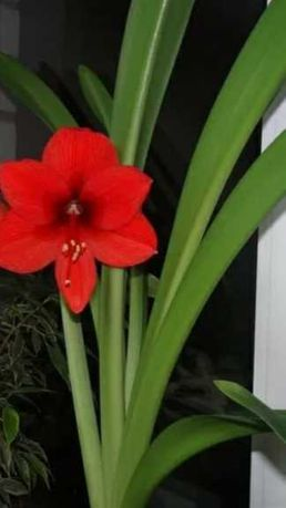 Лилия комнатная красная