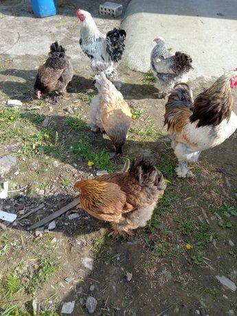 Jaja lęgowe kura Brahma