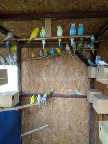Papugi faliste pary lęgowe