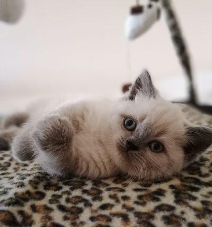 Koty Brytyjskie, Niebieskie oczy, Rodowód FPL